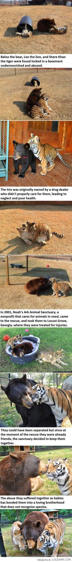 An Unusual Friendship Story About A Bear, A Lion And A Tiger. Thats how we do it were I come from #hometown !!!! #locustgrovega