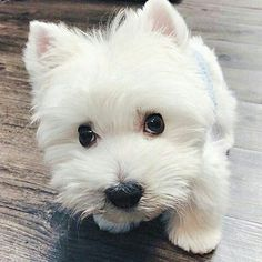 """6,527 Likes, 130 Comments - Westie Moments® (@westiemoments) on Instagram: """"#tbt Check the link in @westiemoments profile and choose your Westie or hoodie! International…"""""""