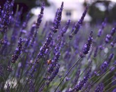 "Excellent article on growing Lavender in Zone including rec'd varities. ""Lavender sleeps its first year, creeps the second and blooms at its peak in its third year producing about 1000 stems."