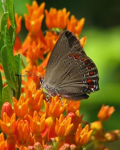 ~~Coral Hairstreak (Satyrium titus) butterfly by Vicki's Nature~~
