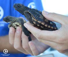 Since 2005, Clearwater Marine Aquarium's staff and volunteer team have released 60,000+ sea turtle hatchlings!