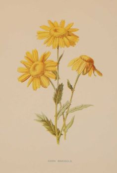 Corn Marigold Antique Botanical Print The print was published circa 1895, this set of prints are referenced as being produced between 1885 and 1895. The print was done by F E Hulme as part of larger set for his works on Wildflowers for which he is particularly well known. Vintage Flower Prints, Vintage Botanical Prints, Botanical Drawings, Vintage Flowers, Yellow Wildflowers, Marigold Flower, Image Blog, Flower Clipart, Photoshop