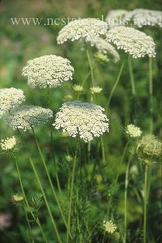 Queen Anne's Lace; tall- grows 3 to 6 feet high; attracts lacewing, ladybug, hoverfly, parasitic mini wasp, which eat aphids, mites, mealybugs, moth/larvae, beetle/larvae, fly/larvae.