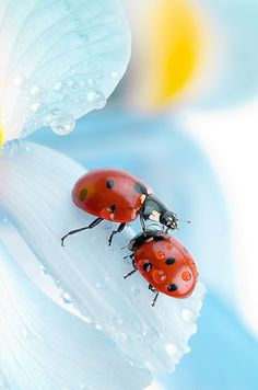 If a lady bug lands on you, something wonderful will happen to you. Beautiful Creatures, Animals Beautiful, Cute Animals, All Nature, Amazing Nature, Lady Bug, Photo Coccinelle, Photo Animaliere, Fotografia Macro
