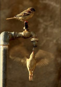 birds drinking out of a spigot