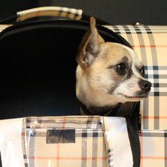 """[003/2017] Das ist Neféli. Die ca. 2 1/2 Jahre junge Chihuahua-Dame kommt ursprünglich aus Naxos, Griechenland. Durch einen glücklichen Zufall sind sich Frauchen Sandra und Neféli dort über den Weg """"gelaufen"""". Sandra war gerade mit dem Motorroller unterwegs, als die mutige Neféli aus dem Gebüsch sprang und sich ihr in den Weg legte. Von dem Moment an sind die beiden unzertrennlich. Zusammen leben sie in Hamburg-Winterhude und arbeiten gemeinsam bei den Pet Shop Boyz in Hamburg-St.Georg."""