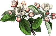 Gorgeous Vintage Apple Blossom Image! - The Graphics Fairy