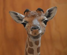 Early in the morning on August 21, a rare baby Rothschild's Giraffe was born at New Zealand's Auckland Zoo!  Learn more at ZooBorns.com and at http://www.zooborns.com/zooborns/2015/08/its-a-boy-baby-giraffe-born-at-auckland-zoo.html