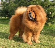 Chow Chow : Top 10 Most Dangerous Dogs In The World – List By Depending On Their Fatalities