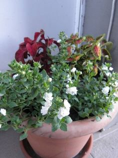 bakopa és díszcsalán Flowers, Plants, Gardening, Lawn And Garden, Plant, Royal Icing Flowers, Flower, Florals, Floral