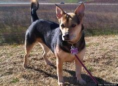 You can see her all the information like history, appearance, corgi puppy price, pictures, pros and cons of the Corgi German shepherd mix. Corgi Cross Breeds, Loyal Dog Breeds, German Shepherd Beagle Mix, Shepherd Mix Dog, German Shepherds, Corgi Mix Puppies, Corgi Rescue, Designer Dogs Breeds, Most Popular Dog Breeds