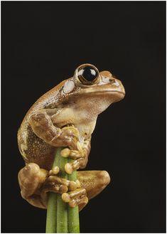 #TreetopPeacockFrog #Frog