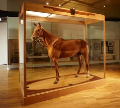 "Phar Lap preserved at the National Museum of Victoria in Melbourne, Australia. His coat looks two-toned because he had a ""trace - clip"" when he died, which means the hairs trimmed in the areas where the horse will sweat most -- the front of the neck, chest, belly and groin. Photo by Benjamin Healley"
