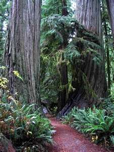 REDWOOD FOREST    CA.