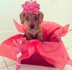 """Discover additional relevant information on """"dachshund puppies"""". Look at our internet site. Puppies And Kitties, Dachshund Puppies, Weenie Dogs, Doggies, Dachshund Gifts, Mini Dachshund, Christmas Dachshund, Purebred Dogs, Baby Dogs"""