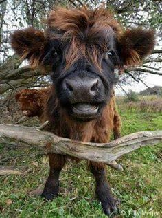 "funnywildlife: "" Moo bad hair day by Tilly Meijer-Fotografie "" funnywildlife: "" Moo bad hair day by Tilly Meijer-Fotografie "" - Beliebt Süße Tiere Bilder Cute Baby Animals, Farm Animals, Animals And Pets, Funny Animals, Wild Animals, Beautiful Creatures, Animals Beautiful, Fluffy Cows, Baby Cows"