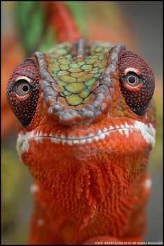 "✶""Panther Chameleon"" (Furcifer pardalis) photo by Paul Bratescu. AMAZING!✶"