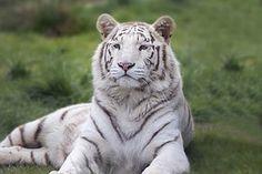 Branco, Bengala, Tigre, Animal
