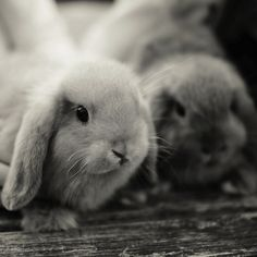 So stinkin' cute!  Looks like our lop eared bunny!