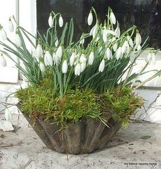 Old tin mould planted up with Snowdrops. I planted a metal colander with miniature daffodil bulbs and covered the top with moss, as a Christmas gift last year and they loved it.