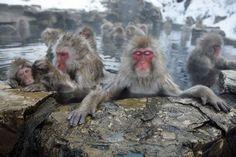 Japanese monkeys love onsen too!!