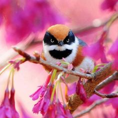 Black-throated Bushtit (Aegithalos concinnus), also known as the Black-throated Tit on Taiwan by Sushyue Liao