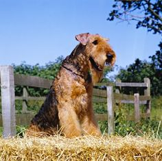 Airedale Terrier oh my Gosh this is a very gorgeous Airedale