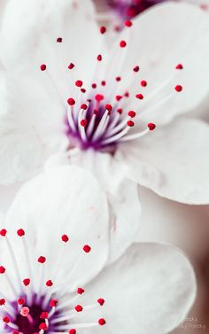 Dreamy white flowers with deep red pollen