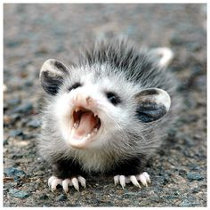 Opossum with an attitude...kind of like your average teenager.