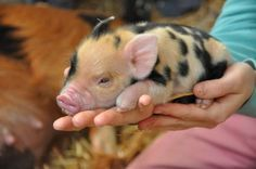Click the photo to learn about the KuneKune breed of pigs! :)