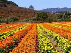 flower farm, Lompoc, California