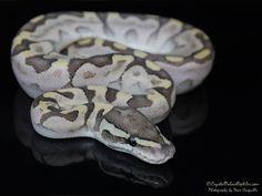 Aquila - Morph List - World of Ball Pythons