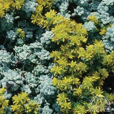 (Sometimes called Gormania spathulifolia) This well-behaved Stonecrop species is an excellent edging or rock garden plant, particularly for hot, dry sites. Perennial Plants, Landscaping Plants, Fairy Garden, Plants, Succulents In Containers, Rock Garden Plants, Perennials, Plants For Raised Beds, Sedum