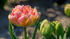 Tulpen - Tulips (album 2) - 106138481934746608913 - Picasa Webalbums