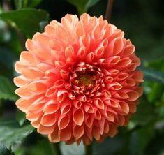 Imágenes de flores y plantas: Dalia