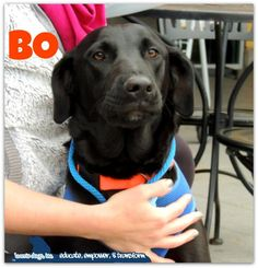 Meet Bo, a Petfinder adoptable Labrador Retriever Dog | Houston, TX | Meet Bo -Hi I'm Bo! I am a beautiful young lab who was left behind in a ditch. I would not have...