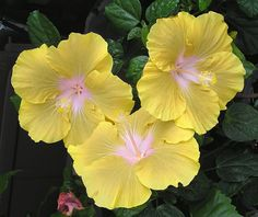 Hibiscus 'Lime Cloud' - Flickr - Photo Sharing!