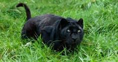 Image result for panther