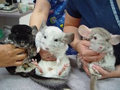 Many people keep chinchillas as pets - they do not have fleas! URL: http://chinchilla.co/ FB fan page: https://www.facebook.com/chinchilla.co