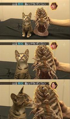 Giant Isopod next to Kitten