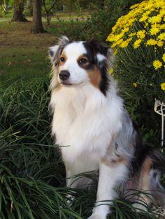 Lily my pretty Australian Shepherd!