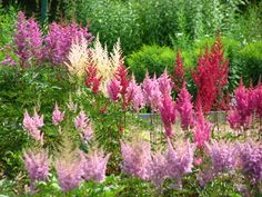 Learn how to grow astilbe in your garden! Shade Perennials, Flowers Perennials, Planting Flowers, Shade Garden Plants, Garden Shrubs, Bog Plants, Flowering Plants, Begonia, Petunias