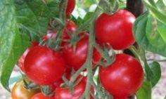 Tomate cerise rouge, variété ancienne. Tomates rondes, rouges, juteuses et savoureuses, résistantes à la chaleur. Idéale à l'apéritif. Certifié Agriculture Biologique. Graines non-hybrides.     Sachet de 25 graines.     Semis : à l'abri de mars à avril, repiquer en mai à 50 X 100cm ou direct en mai.  Peut convenir pour une culture en pot, sur une terrasse ou dans une cour.   Ne se palisse pas et ne se taille pas.