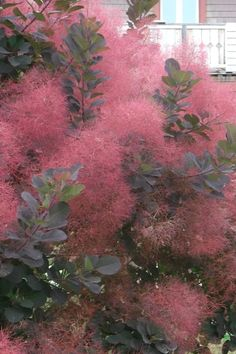 Buy Royal Purple Smoke Tree Cotinus coggygria For Sale Online From Wilson Bros Gardens