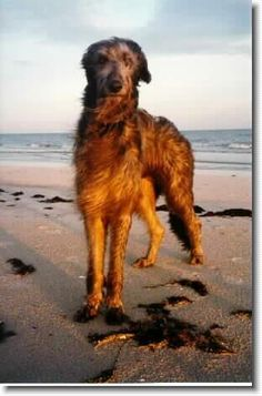 Scottish Deer Hound. Love this breed as much as the Irish Wolf Hounds animals