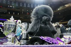 Siba, the standard poodle, poses for photographs after winning Best in Show in the 144th Westminster Kennel Club dog show, Tuesday, Feb. 11, 2020, in New York