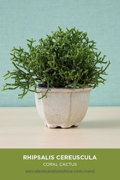 This shrubby cactus is perfect for indoor-growers! This shrubby cactus is perfect for indoor-growers Container Gardening Vegetables, Succulent Gardening, Planting Succulents, Planting Flowers, Organic Gardening, Cacti Garden, Succulent Planters, Terrace Garden, Tropical Garden