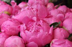 French Market Fragrant Dark Pink Peonies by rebeccaplotnick, $30.00
