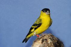 Afficher l'image d'origine Tarin Des Aulnes, Parrot, Birds, Animals, Parrot Bird, Animales, Animaux, Bird, Animal