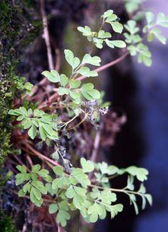 Muurplanten.nl - Overzicht muurplanten